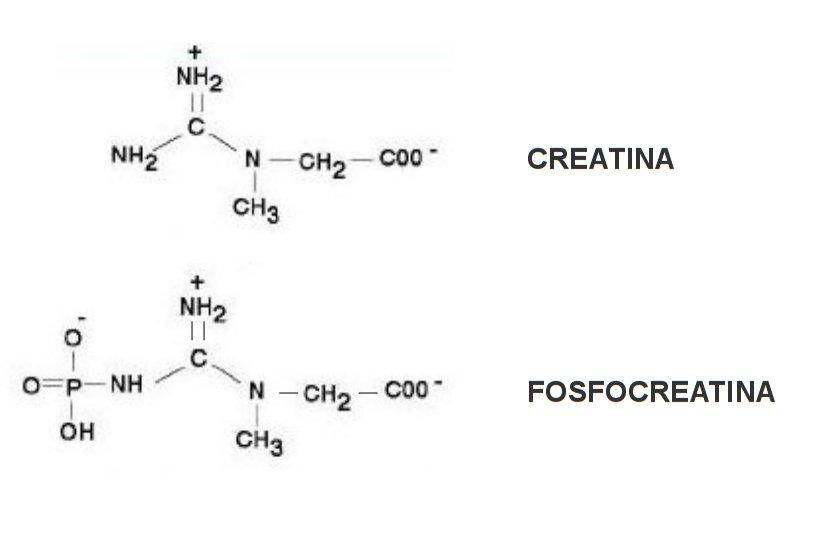 Cratina fosfocreatina